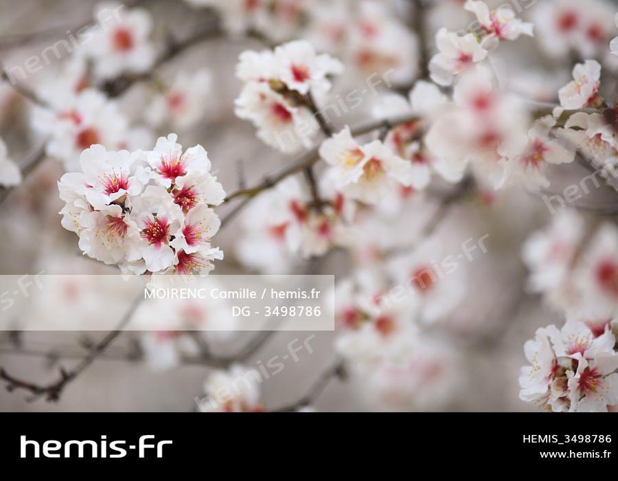 Cherry Blossoms rencontres Asie connexion